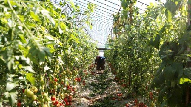 Rusya'dan Türk domatesi kararı